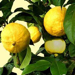 Citrus aurantisum subsp. bergamia